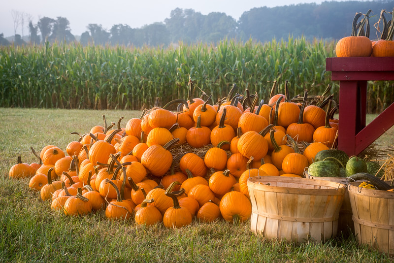 Pumpkins and the Cornfield