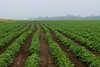 """""""Spinach Rows""""<br /> <br /> Rows of spinach on a foggy day in this New Jersey farm."""