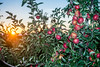 Apple Tree at Sunset