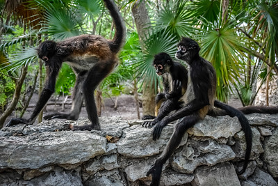 Spider Monkey Family