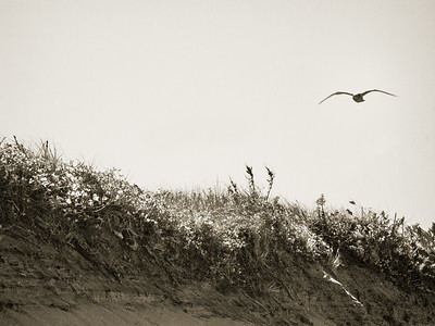 Seagull over the Dunes