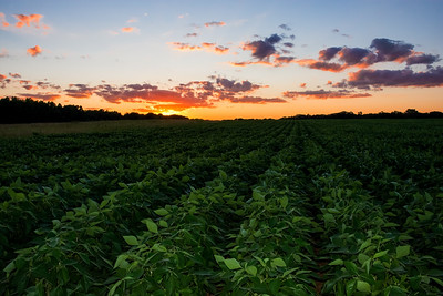 Green Rows at Sunset
