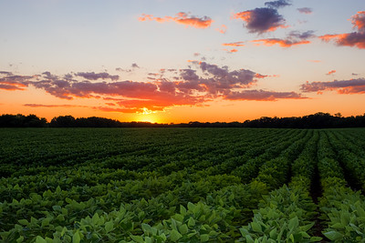 Sunset Soy