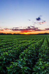 Soybeans at Sunset