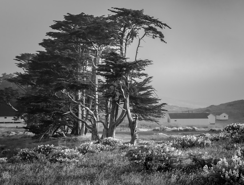 Cypress Morning