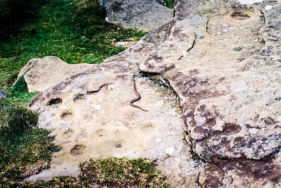An adder on the rock