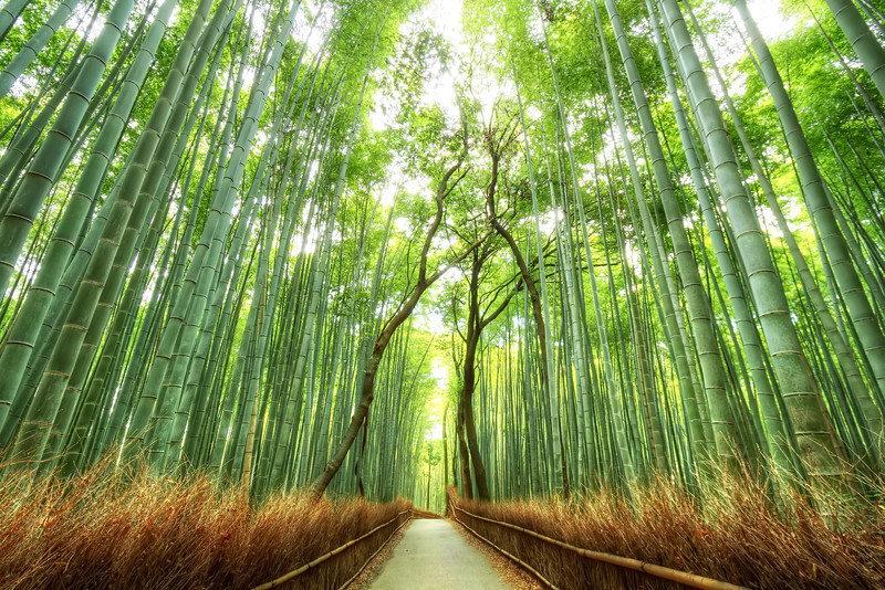 Kyoto's Bamboo Forest<br /> Copying the master Trey Ratcliff. I went to the same spot, tried the same composition and processed it with his HDR signature