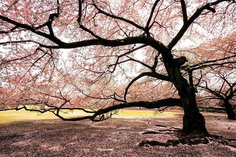 Dreaming of Sakura