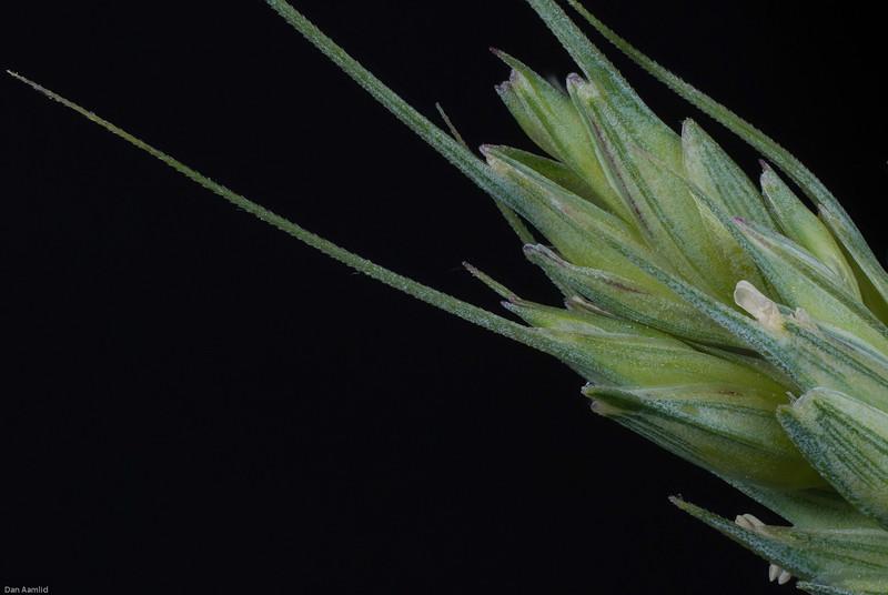 Hvete