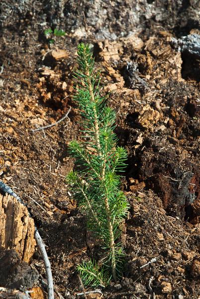 Nyplantet granplante (pluggplante), P. abies