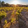Grape vine in Ramatuelle
