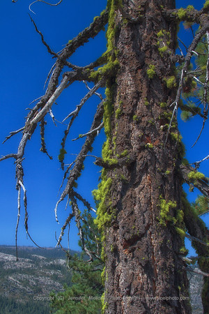 Mossy Pine Tree with Bare Limbs