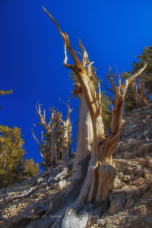 Bristlecone Pine Throws It's Arms Up in the Air