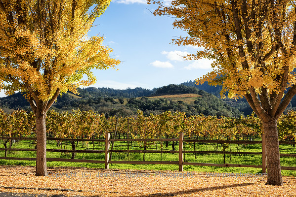 Golden Trees Guard the Vineyard