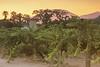 Sunset over the Vineyard