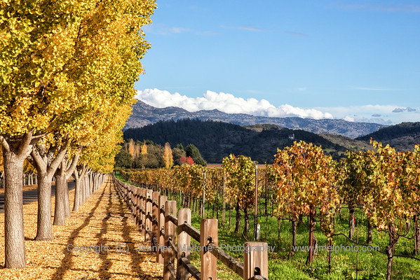 Three Rows in Autumn: Trees, Fence, and Vines