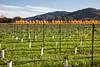 Golden Trees Line the Vineyard