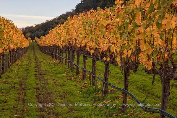 Golden Vine Rows