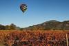 Balloon over Vineyard in Fall - Horizontal