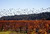 Flushing Birds over Fall Vineyard
