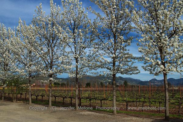 Napa Vineyard Blossoms