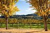 Golden Trees Guard the Vineyard
