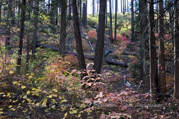 Autumn Deciduous Trees in Yosemite
