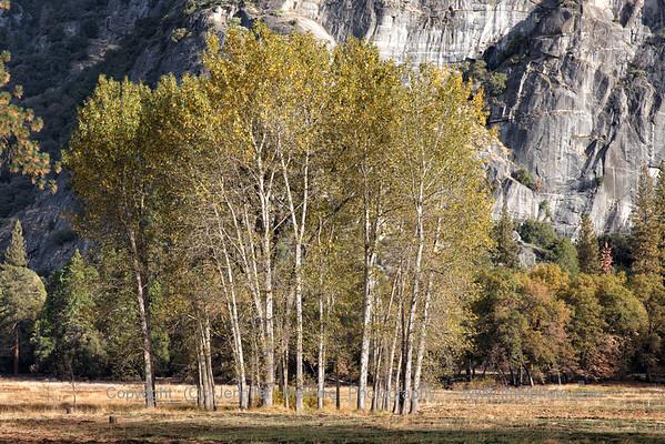 Grove of Poplars in the Meadow