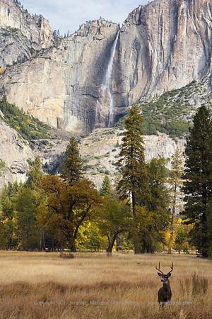 Buck in the Meadow Guarding Yosemite Falls