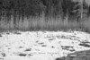 Melting Snow in Meadow with Poplars - Black and White