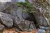 "A ""Banzai"" Tree Near Boulders"
