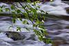 Dogwood over River - 1