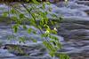 Dogwood over River - 2