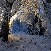 Hoar frost and rime ice on the trees in Anchorage, Alaska.