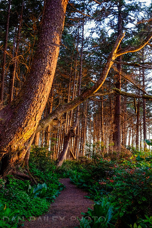 Sunset in the forest along the Oregon Coast