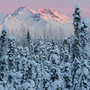 View of alpenglow on the Chugach Mountains through stand of small snow covered pine trees, Anchorage, Alaska