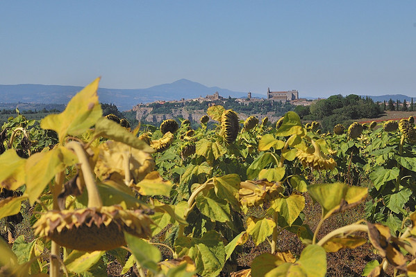 Orvieto with Sunflowers