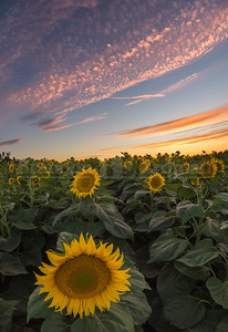 Sunflower sunset near Woodland, Ca