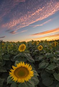 Sunflower sunset near Woodland, Ca
