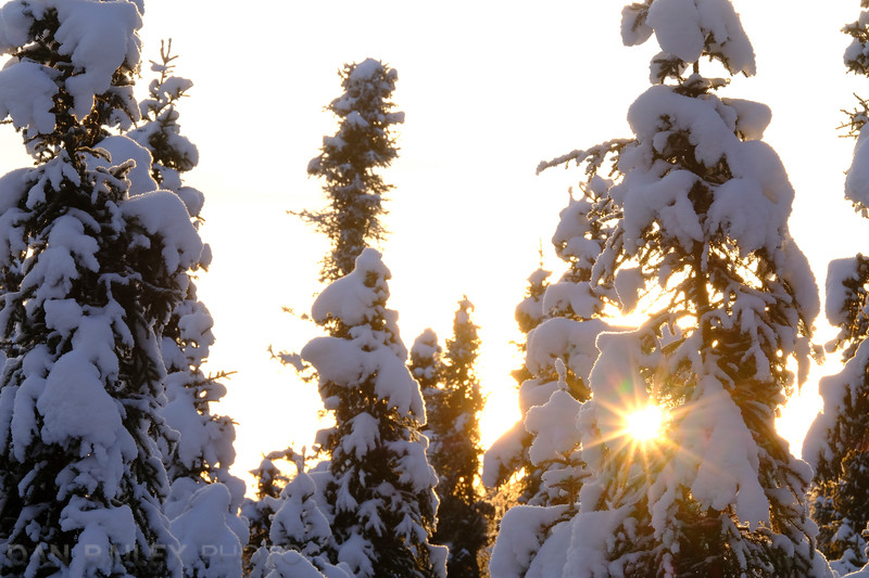 Sunset through the snow covered pine trees.