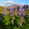 Lupines and Wolverine Peak, Chugach Mountains, Alaska