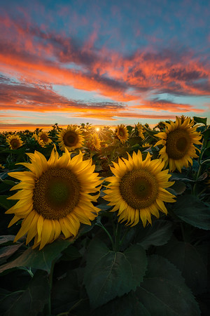 "Sun""set"" Flowers"