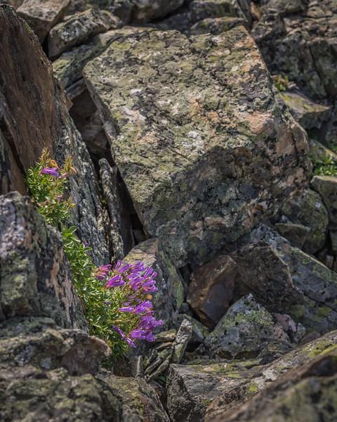 A splash of color in the rock, Lake O'Hara, Canada
