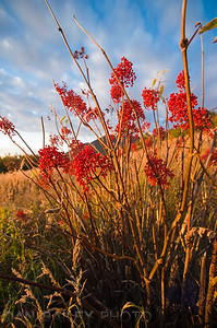 Red mountain as berries on the autumn tundra landscape at sunset, Chugach Mountains, near Anchorage, Alaska, shot in September.