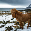 Icelandic Red