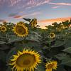 sunset over sunflowers