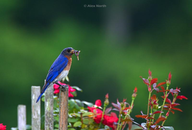 Bird-Bluebirdworm