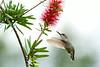 HummingbirdChopStick072013_1