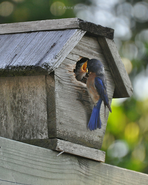 Bird-bluebirdfeedinglg