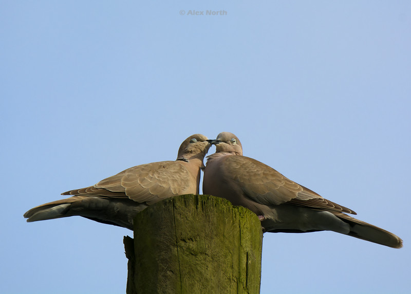 Birds-Dovelove1